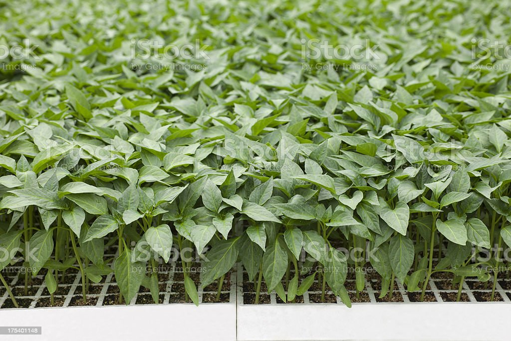 pepper seeds stock photo