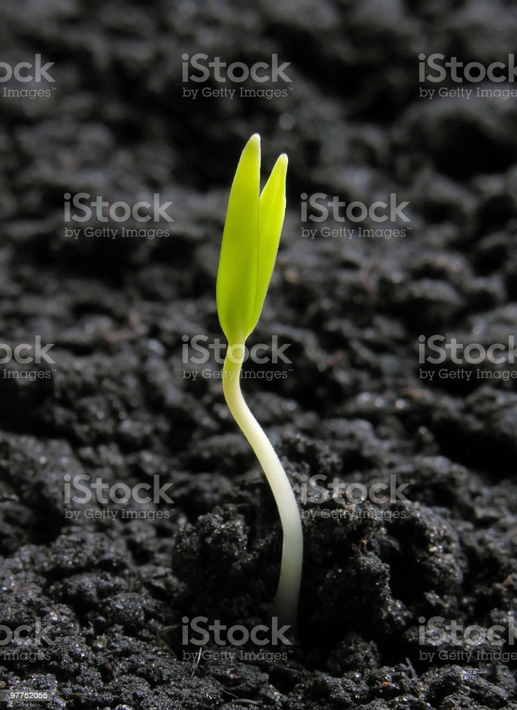 pepper sprout royalty-free stock photo