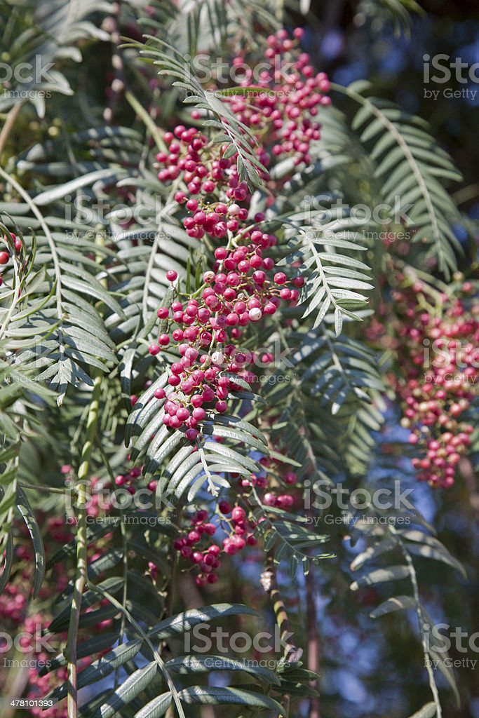 Pepper Tree Berries royalty-free stock photo