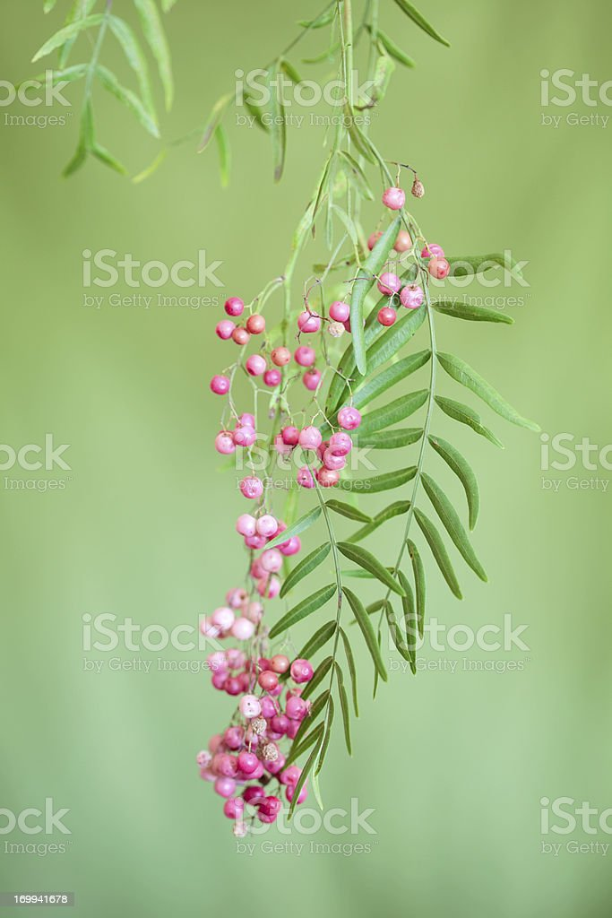 Pepper Tree Berry Cluster stock photo