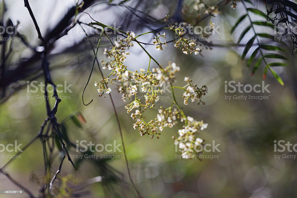 Pepper Tree Flowers royalty-free stock photo