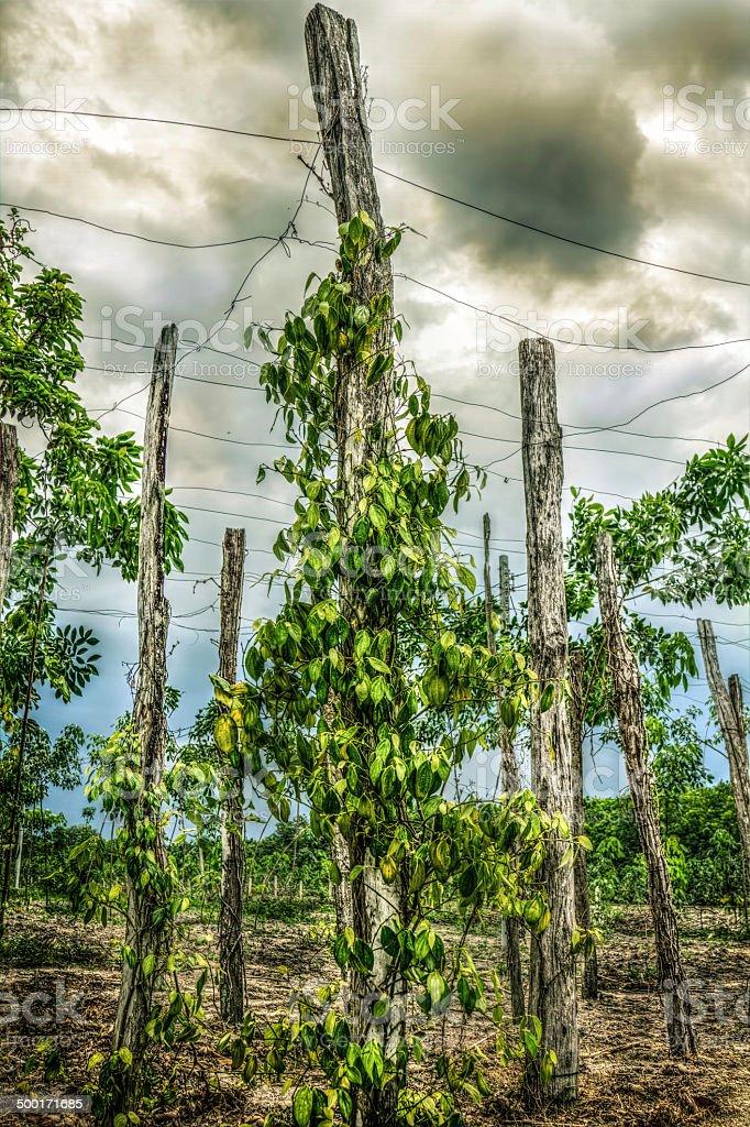 pepper trees stock photo