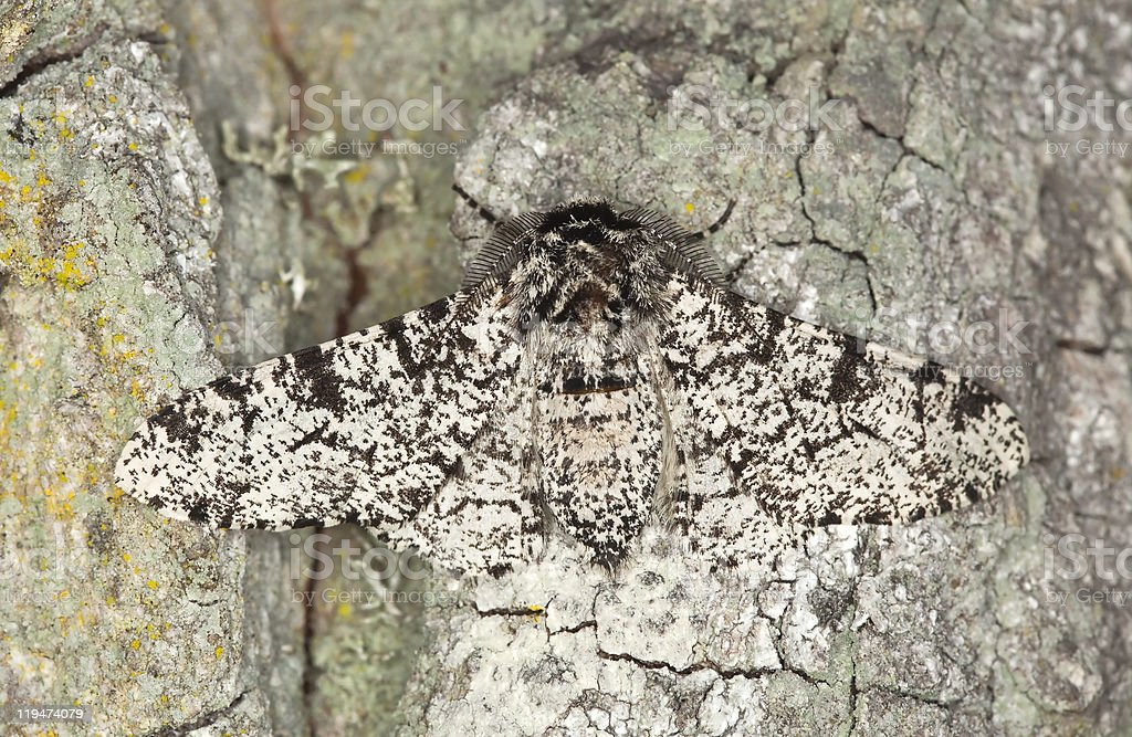 Peppered moth (Biston betularia) camouflaged on oak Macro photo. royalty-free stock photo
