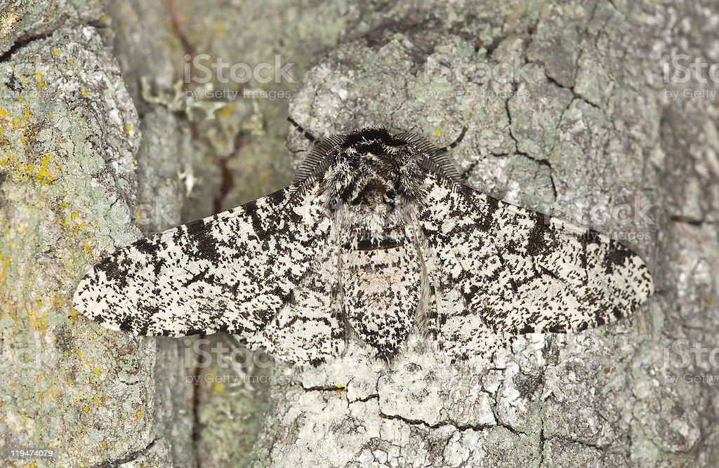 Peppered moth (Biston betularia) camouflaged on oak Macro photo. stock photo
