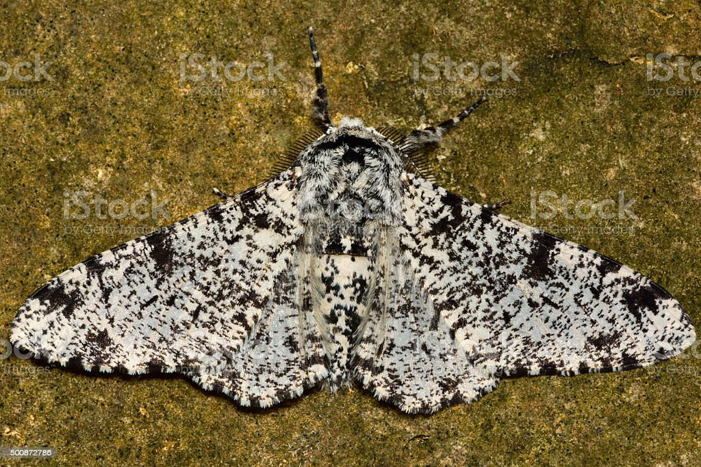 Peppered moth (Biston betularia) light form against stone stock photo