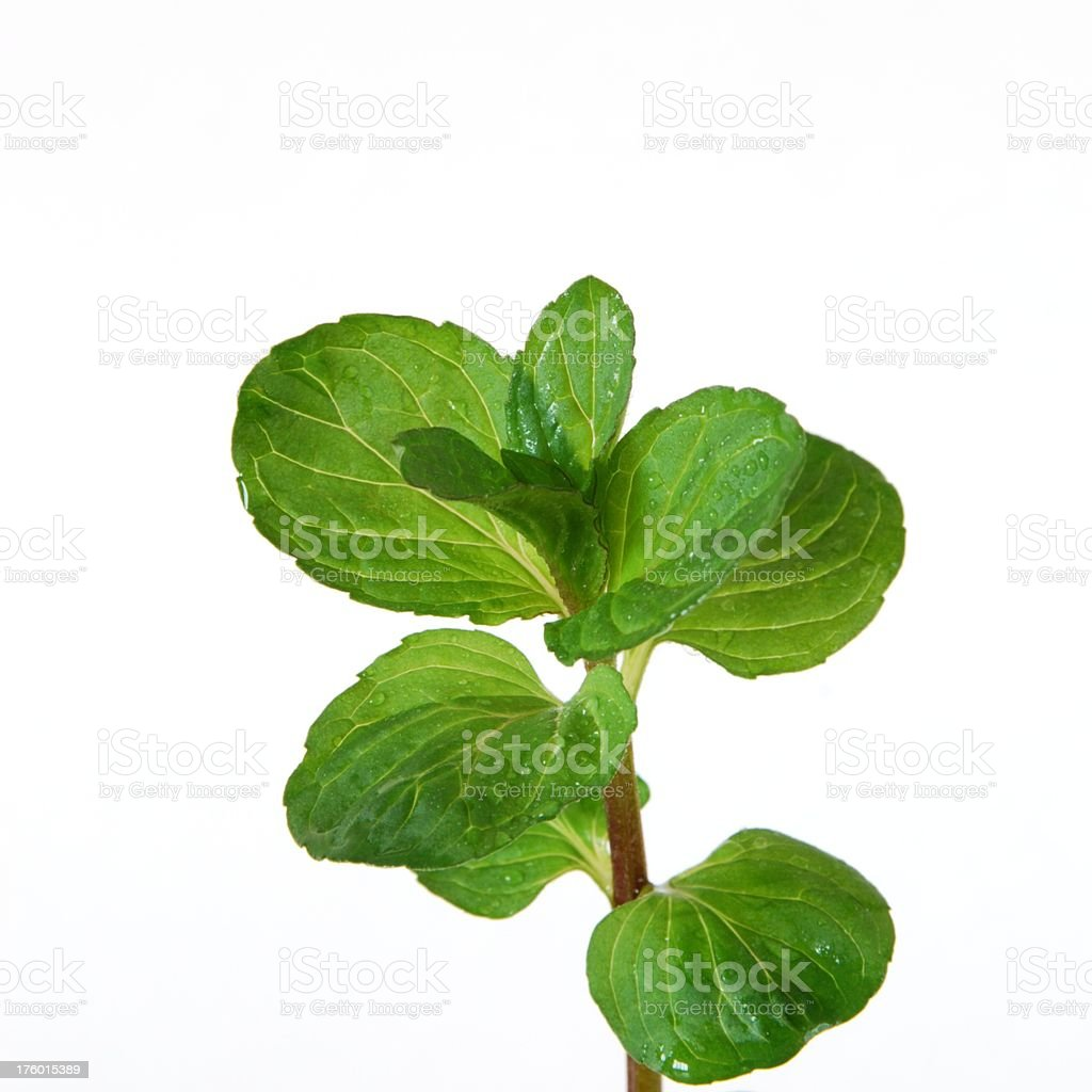 Peppermint branch (Square) royalty-free stock photo