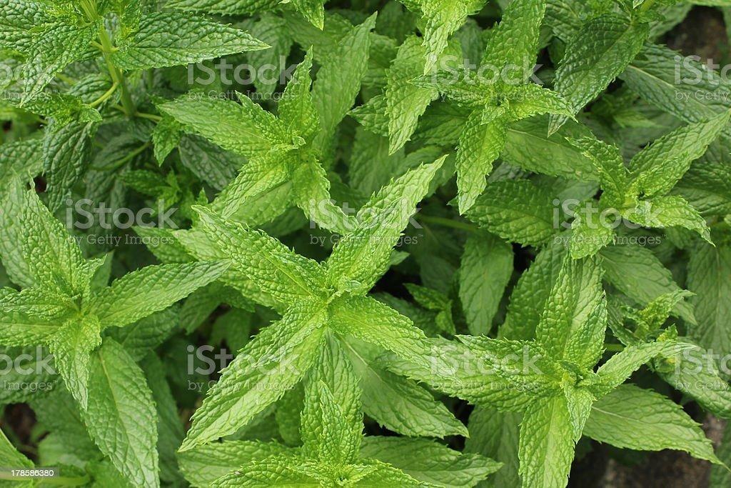 Peppermint, Fresh Mint royalty-free stock photo