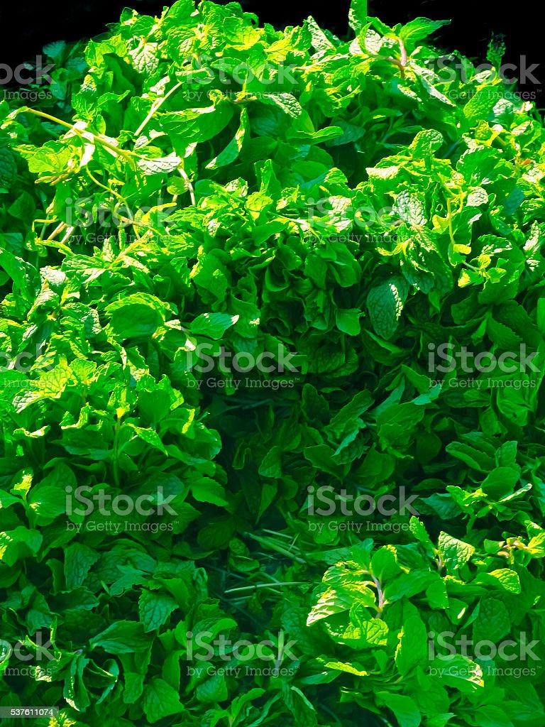 Peppermint, Mentha piperita stock photo