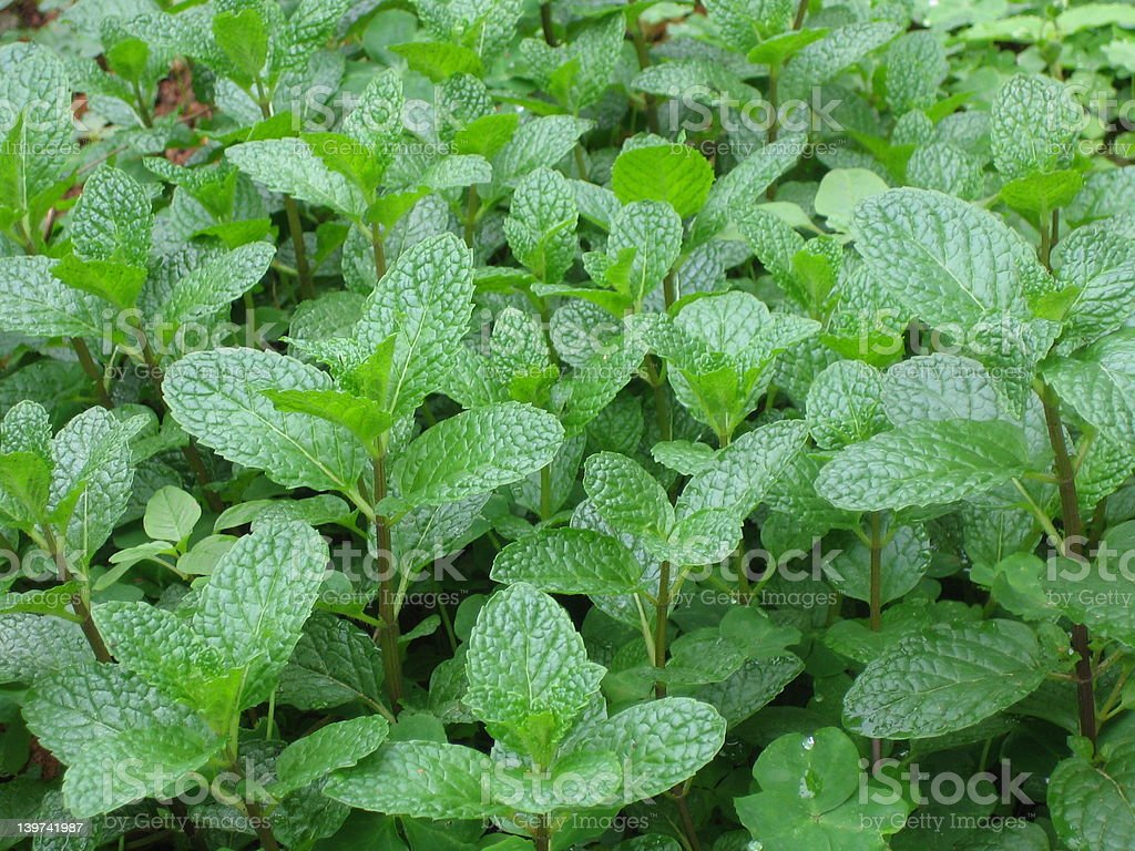 peppermint royalty-free stock photo