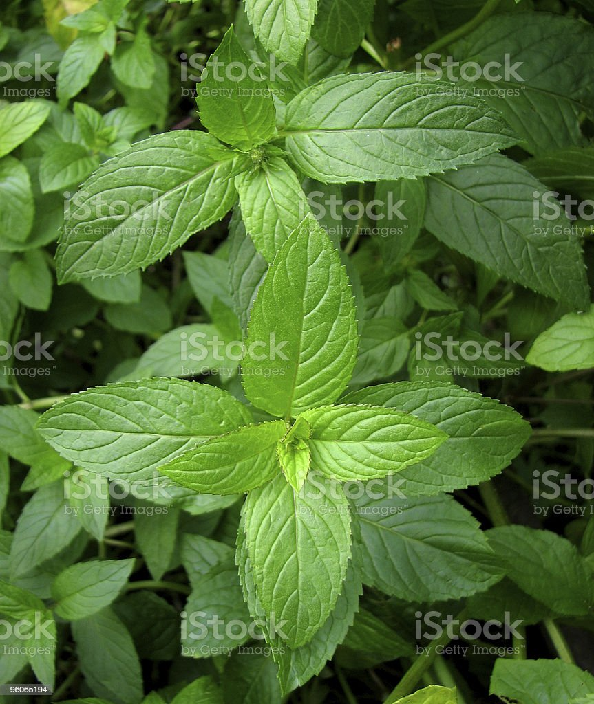 Peppermint plant stock photo