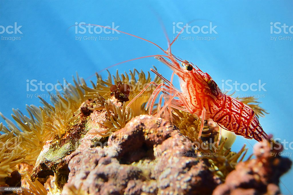 peppermint shrimp  Lysmata wurdemanni stock photo