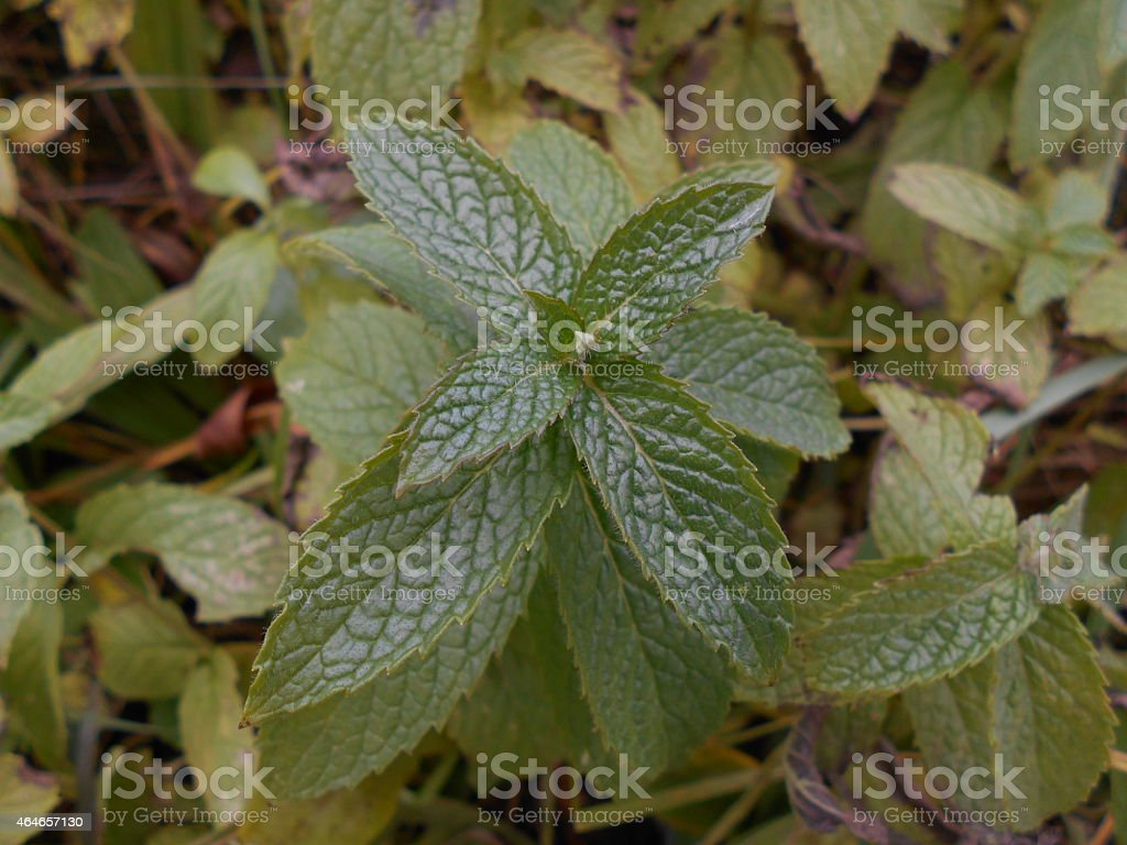 Peppermint/Mint stock photo