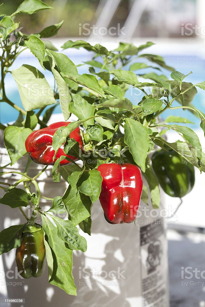 Peppers growing in containers royalty-free stock photo