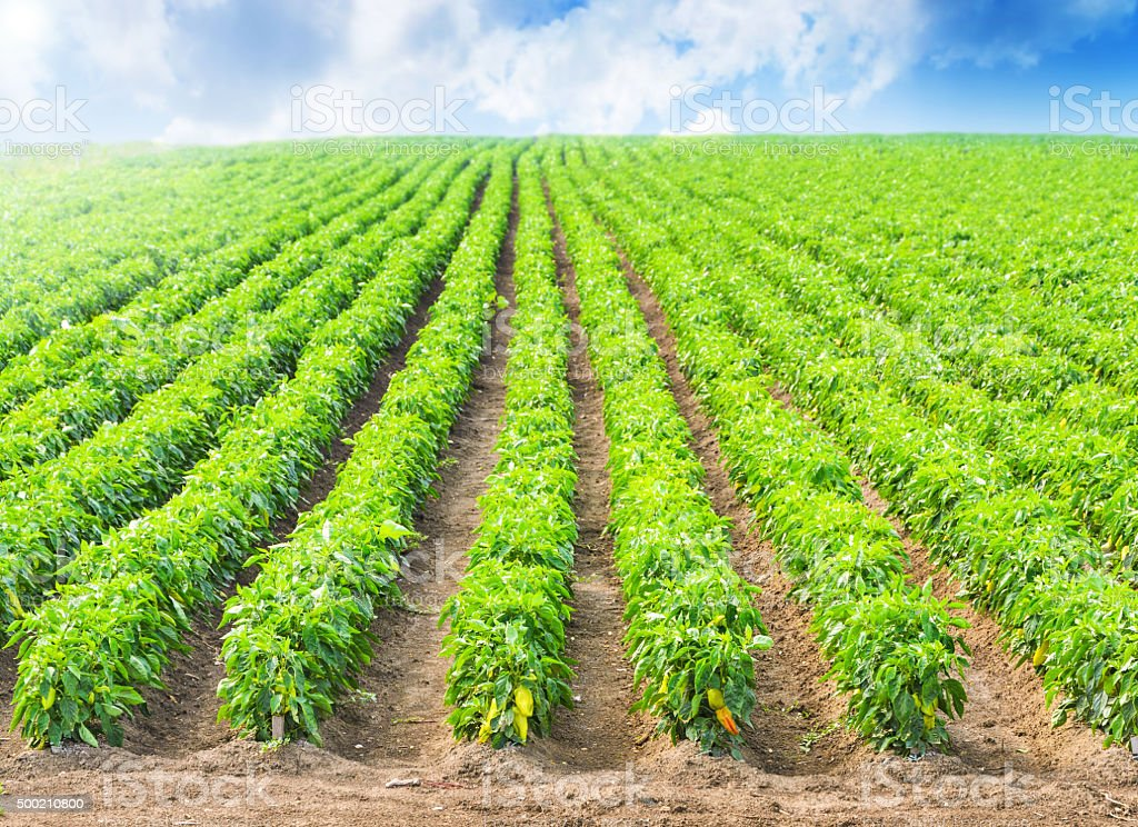 Peppers in a field with irrigation system and blue sky stock photo