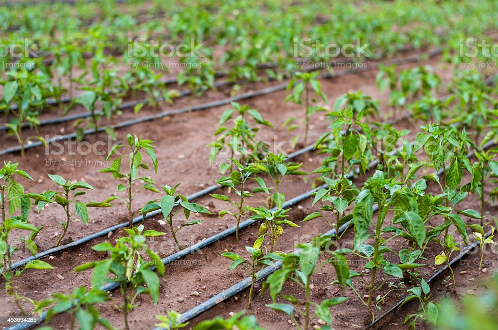 Peppers in the garden stock photo