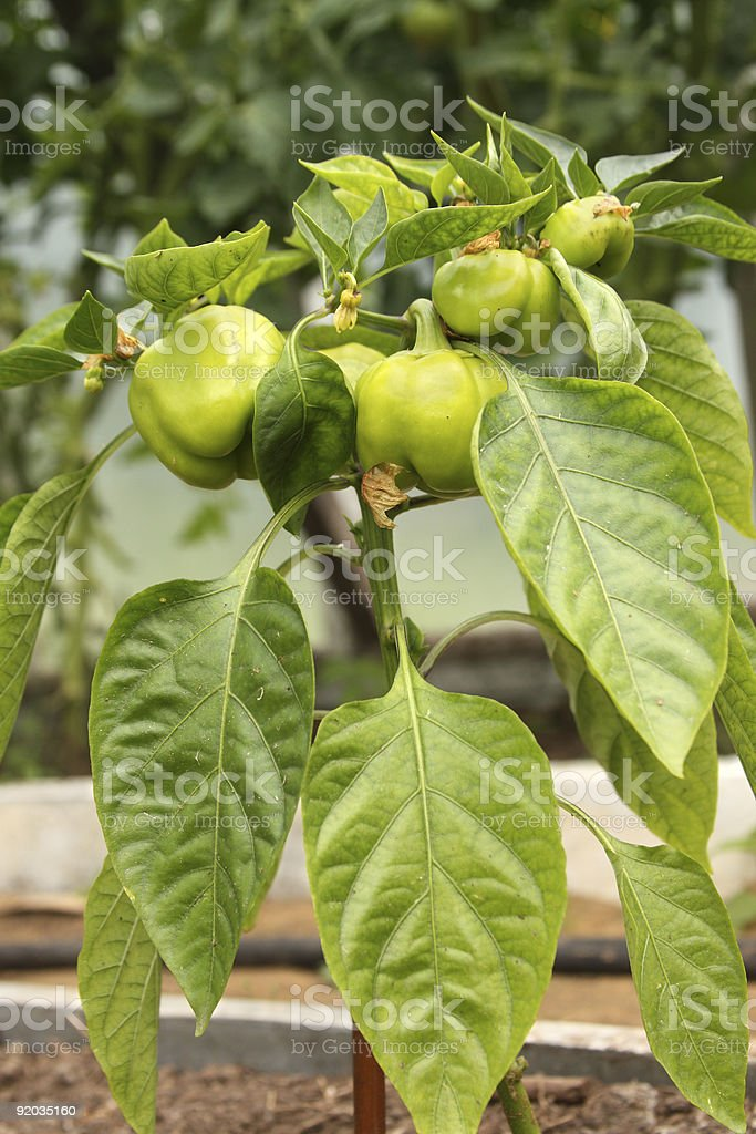Peppers ripening on the plant royalty-free stock photo