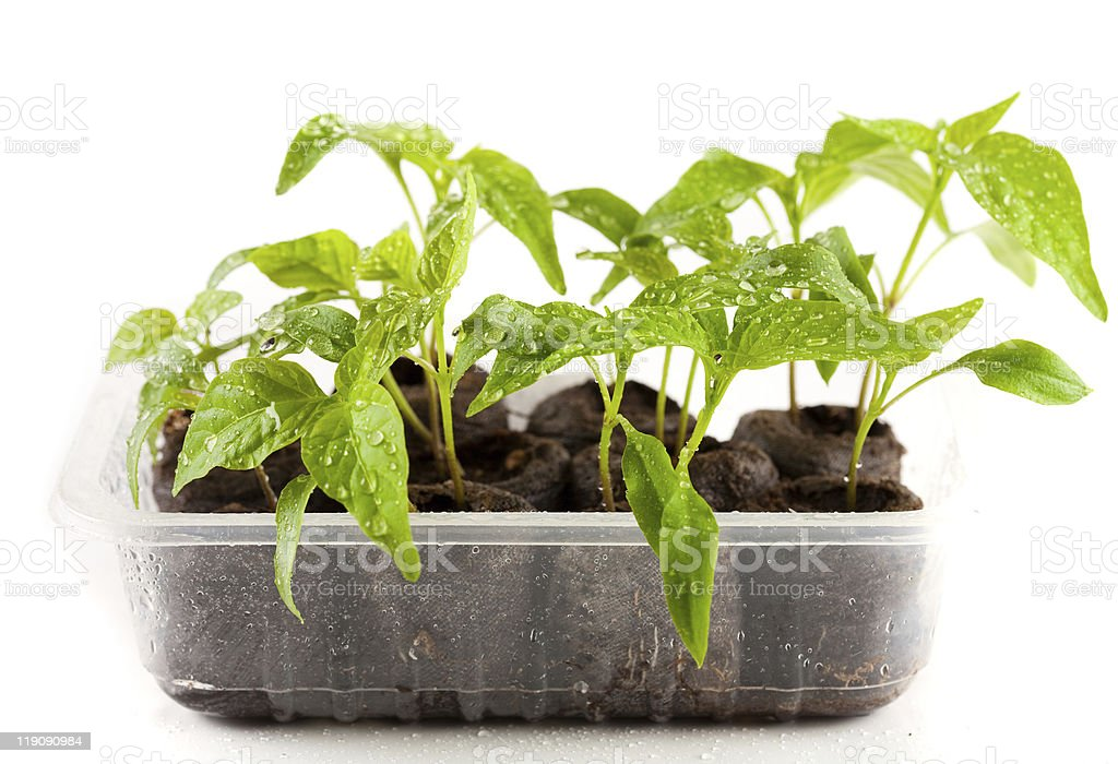 Peppers seedling from a nursery royalty-free stock photo
