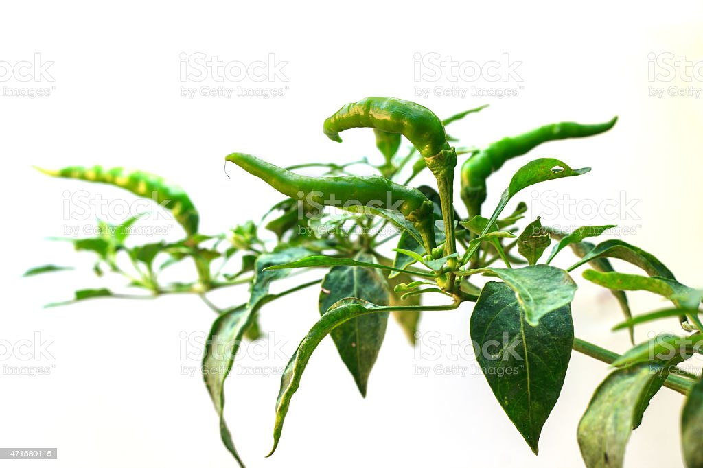 peppers with leaves stock photo
