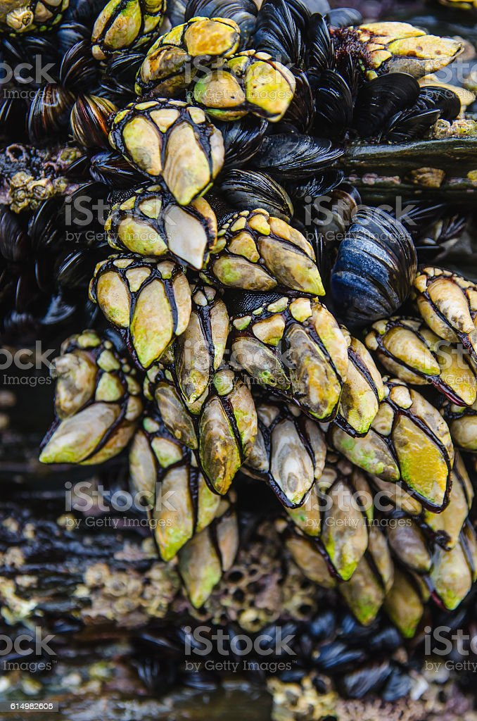 percebes goose barnacles mussels stock photo