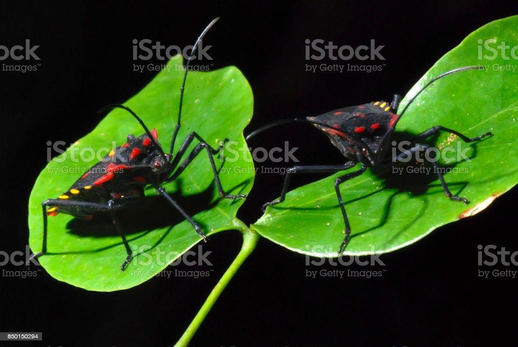 Percevejo (Hemiptera) | Chinch stock photo