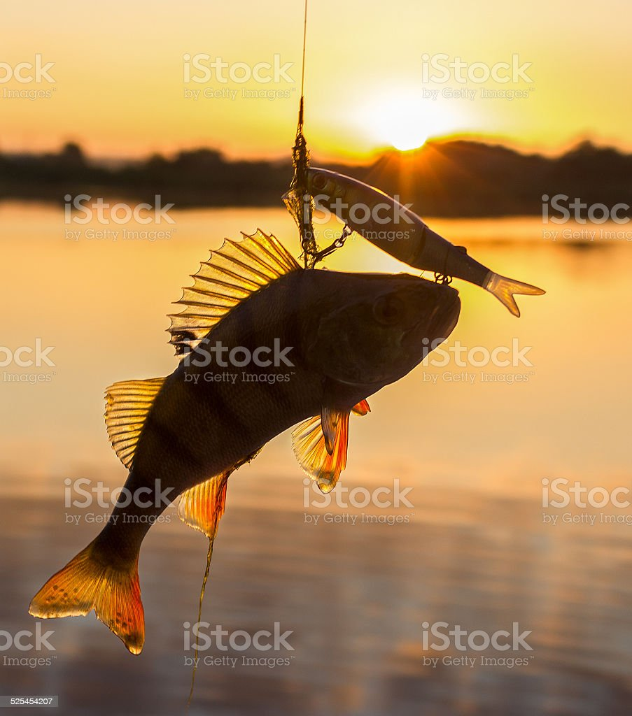 Perch and bait stock photo