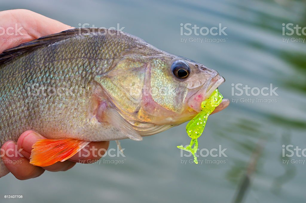 perch and silicone bait stock photo