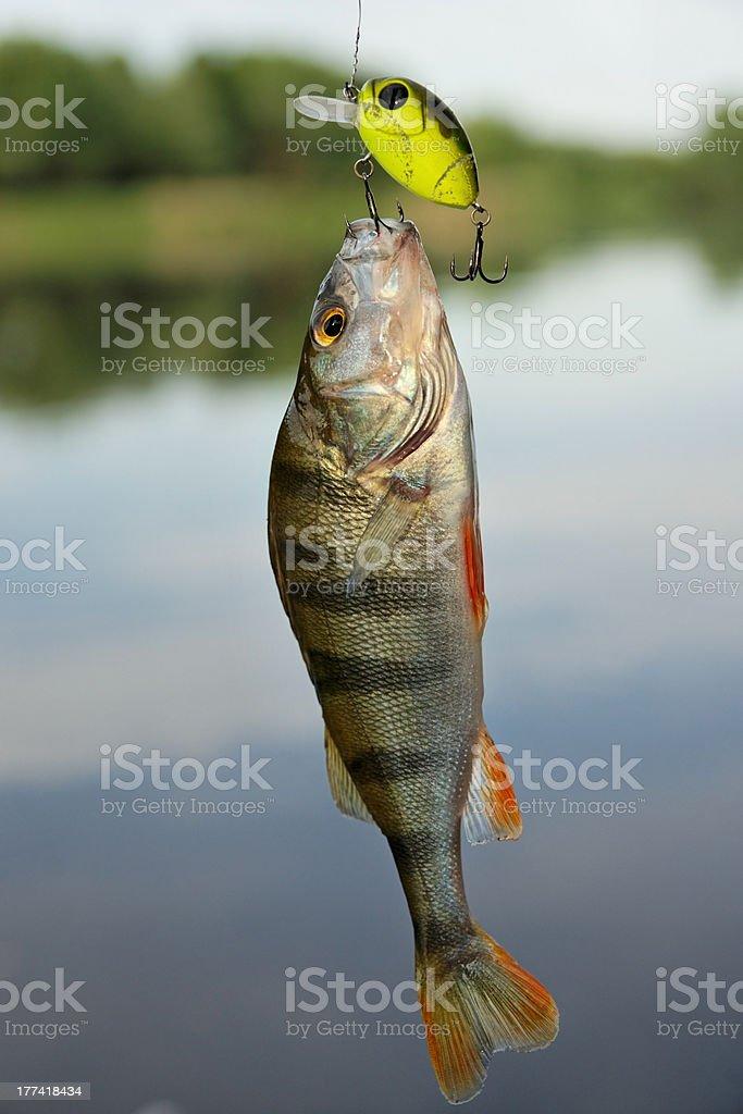 Perch caught on plastic lure stock photo