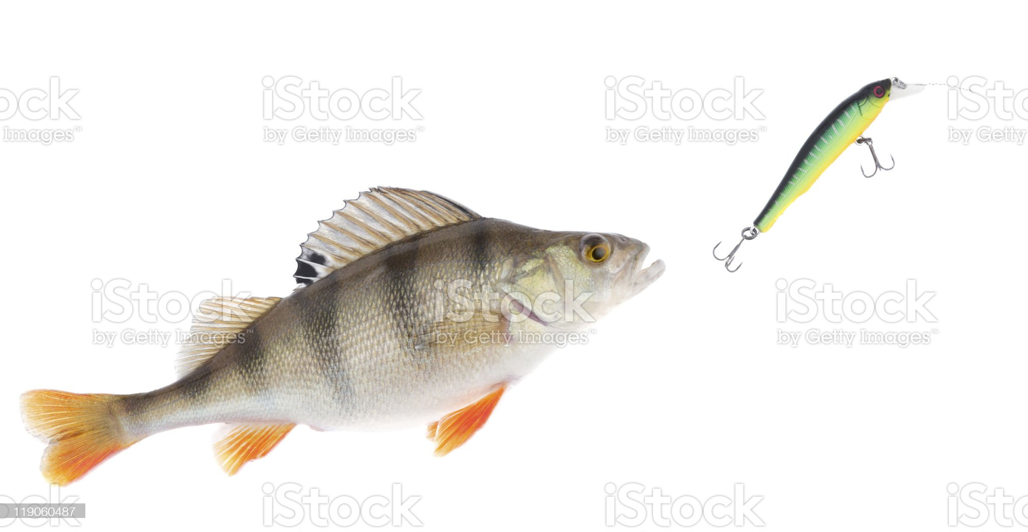 Perch chasing minnow hardbait isolated on white royalty-free stock photo