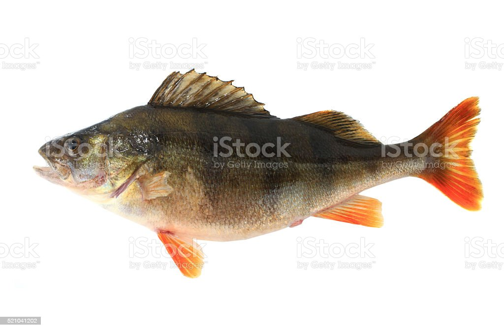 perch  female stock photo
