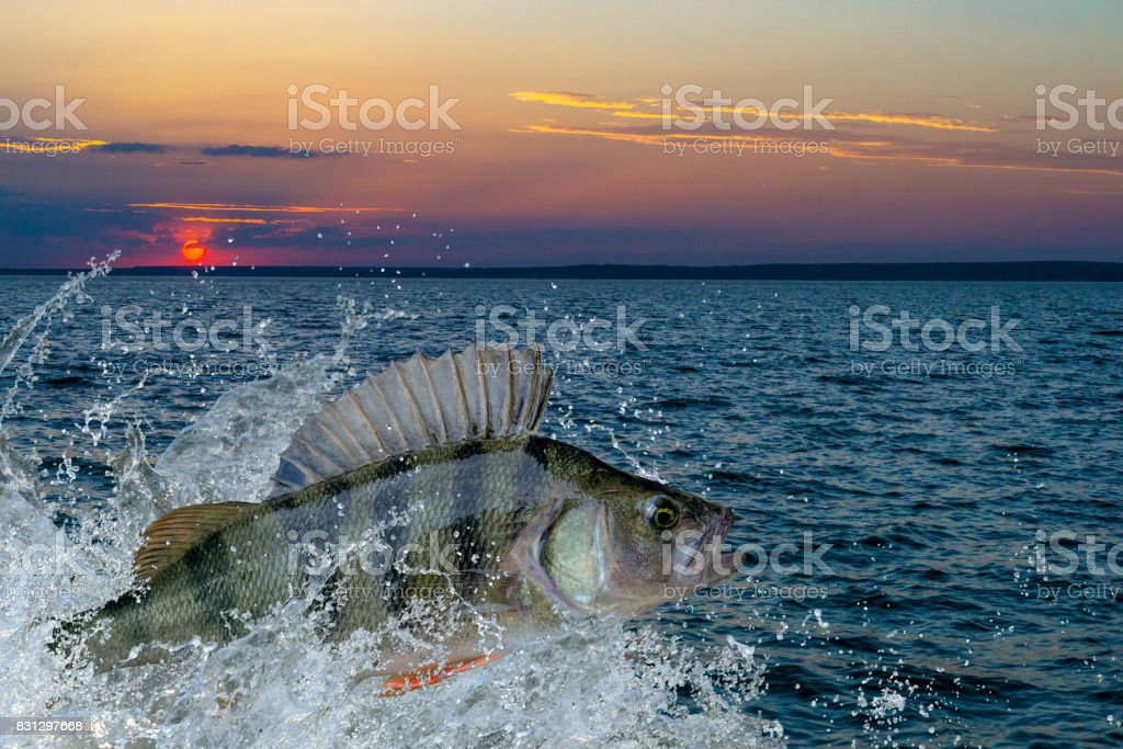 Perch fish jumping with splashing in water stock photo