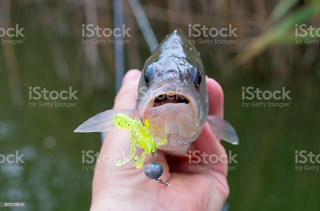 perch fish silicone bait stock photo
