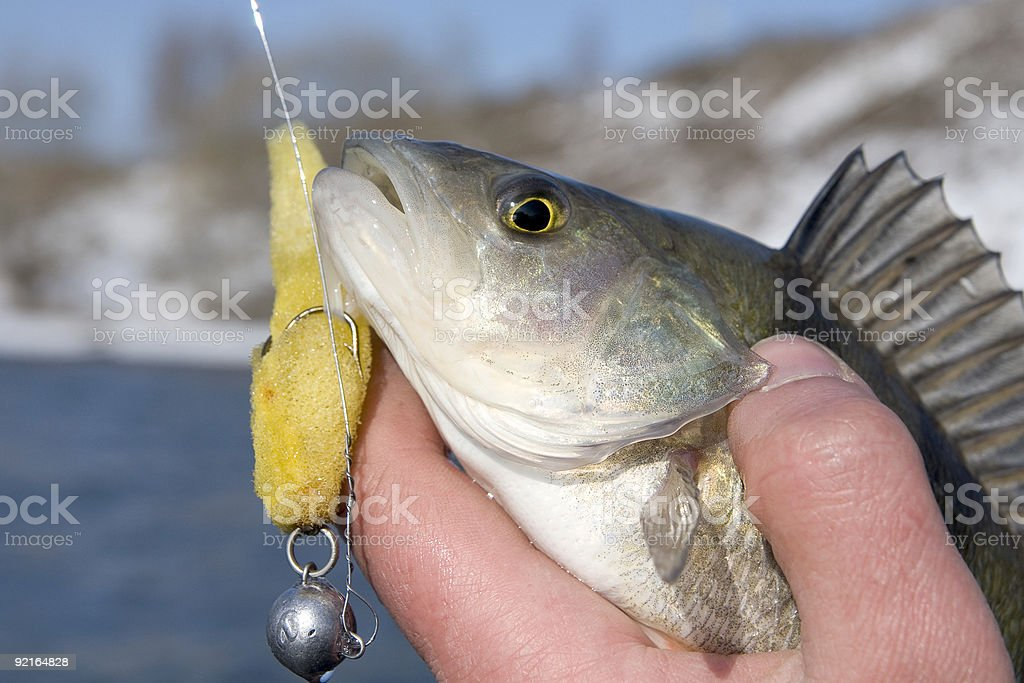 Perch in fisherman's hand royalty-free stock photo