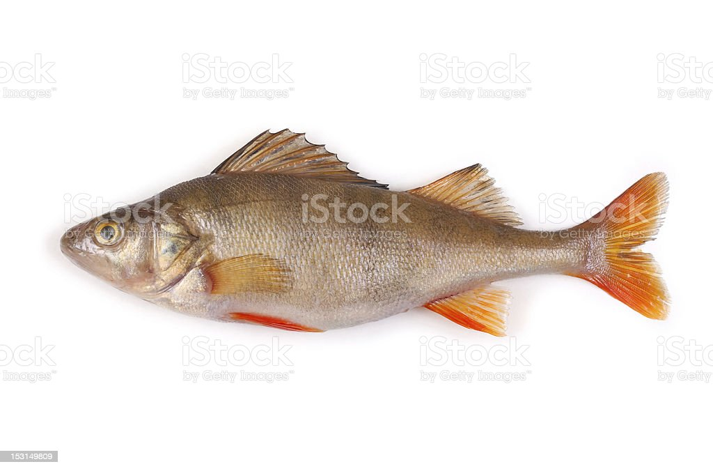 perch isolated on white background royalty-free stock photo