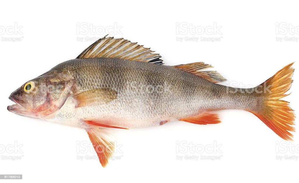 Perch isolated stock photo