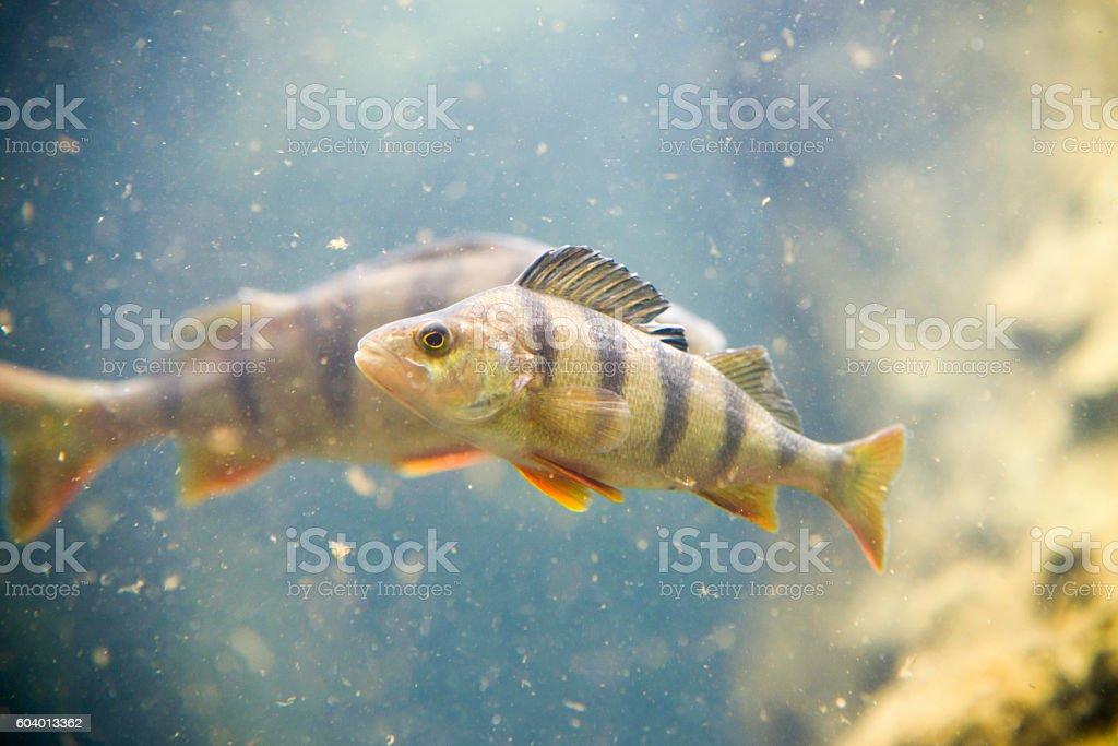 Perch, Perca fluviatilis, single fish in water stock photo