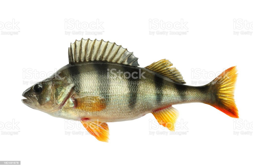 Perch stock photo
