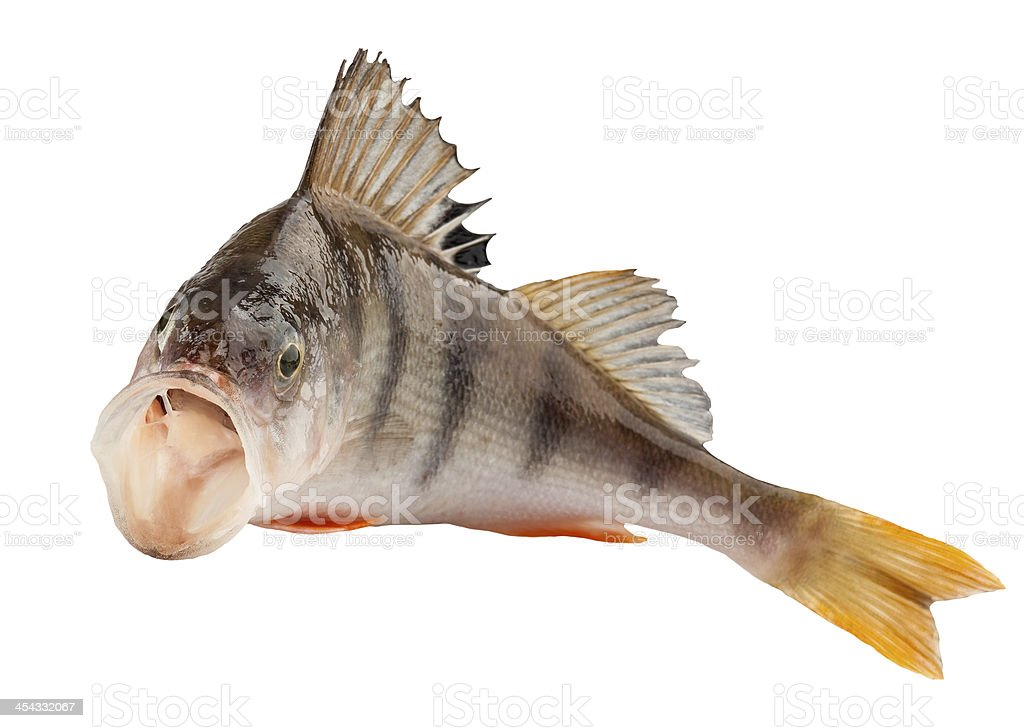 perch royalty-free stock photo