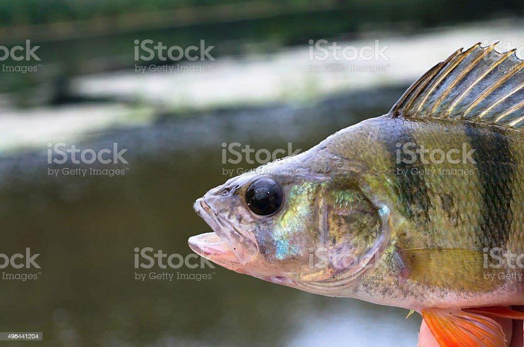 perch stock photo
