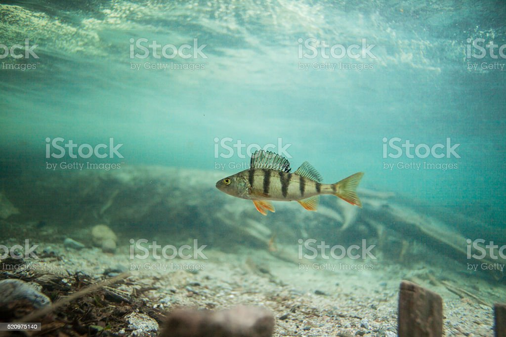 Perch swimming underwater stock photo