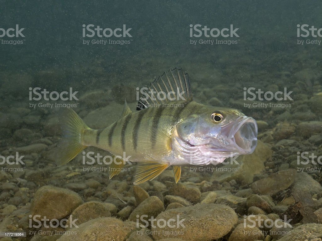 Perch (Perca fluviatilis) with open mouth royalty-free stock photo
