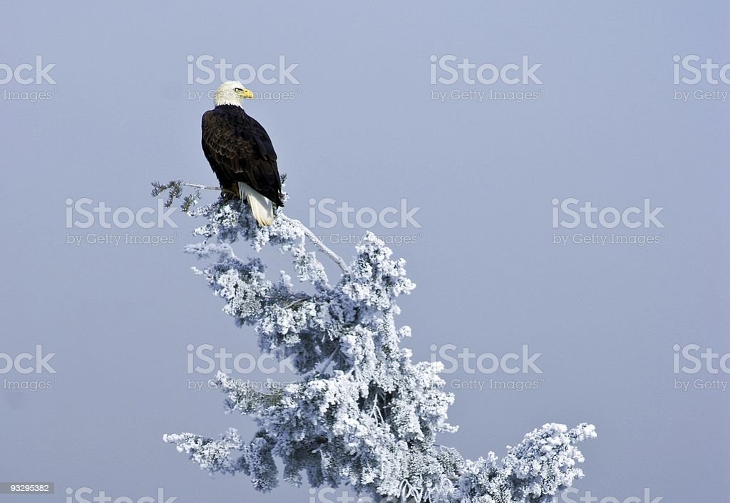 Perched Bald Eagle stock photo