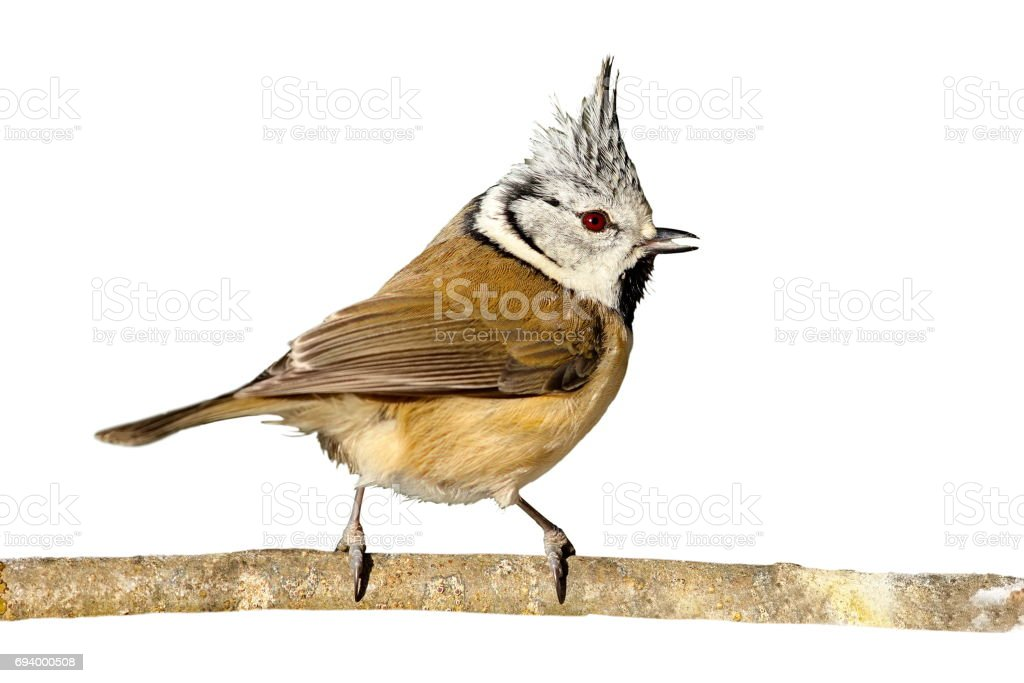 perched european crested tit isolated on white background stock photo
