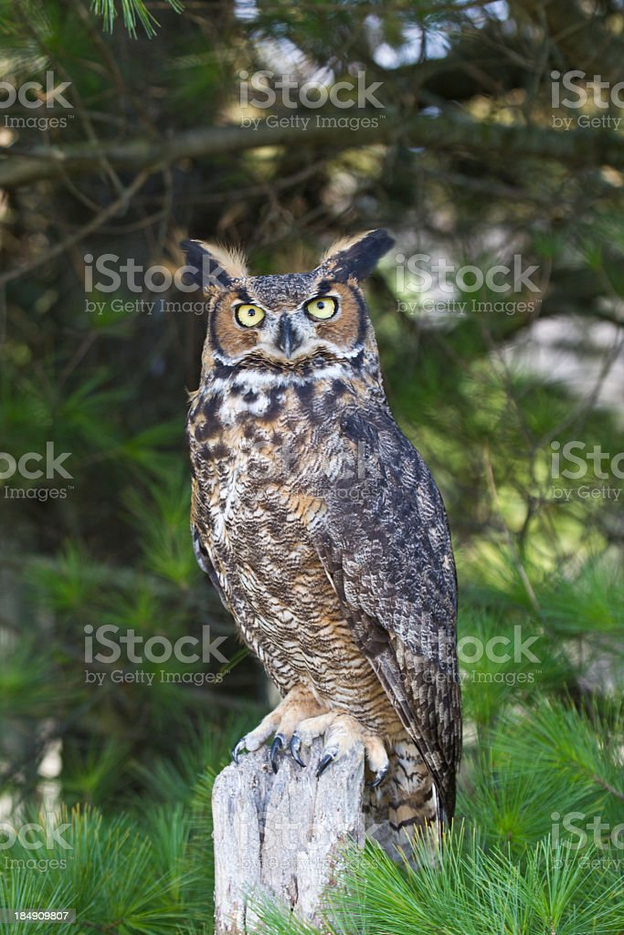 Perched great horned owl with tree branches in background stock photo