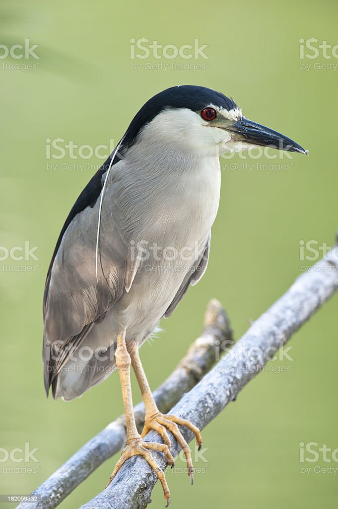 Perched Heron stock photo
