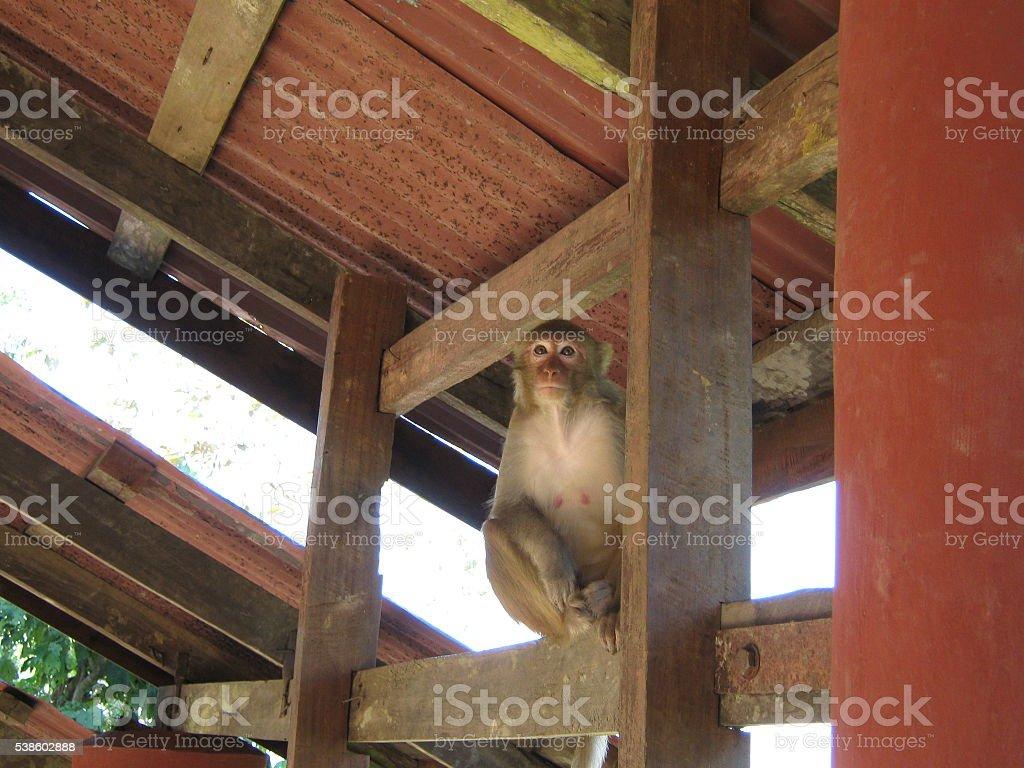 Perched Monkey in Mount Popa, Myanmar stock photo
