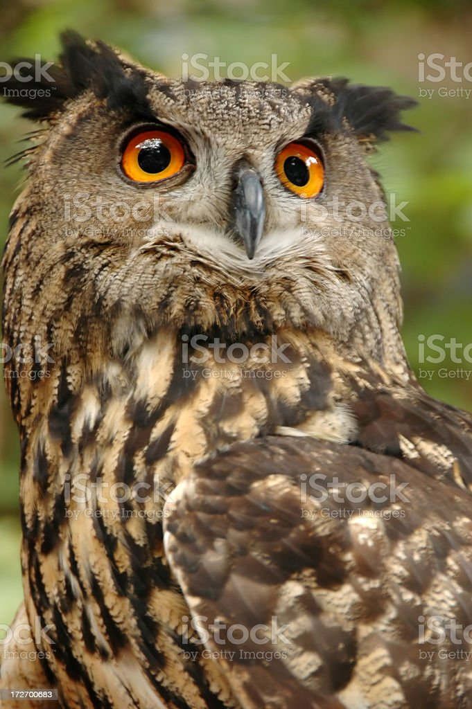 Perched owl. royalty-free stock photo