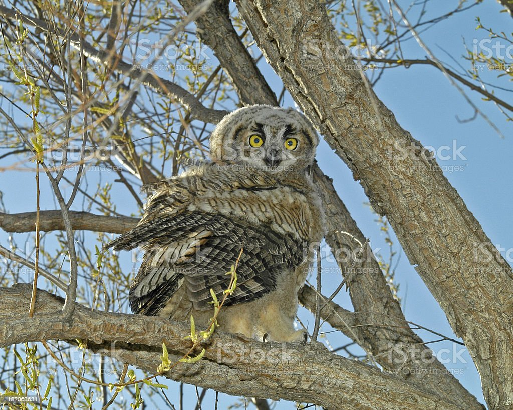 perched owl royalty-free stock photo