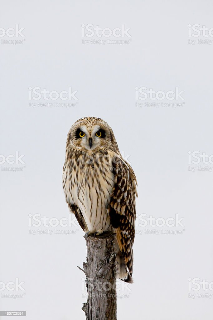 Perched Short-eared Owl, Asio flammeus, at dusk stock photo