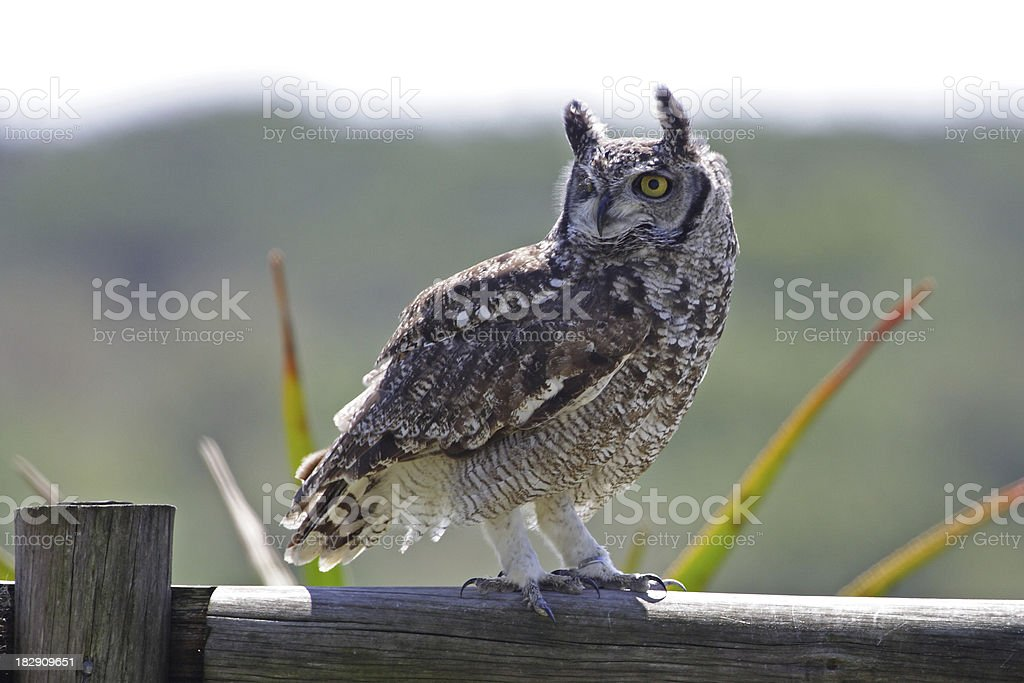 Perched Spotted Eagle Owl stock photo
