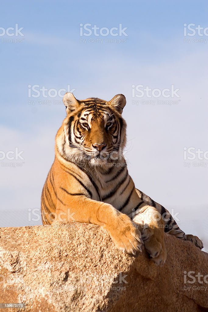 perched tiger (portrait) stock photo